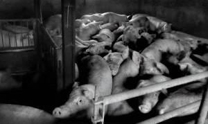 svininfluensan sprider sig