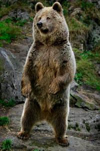 Björnen Jimmie vägrar gå i ide
